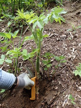 土中に茎が埋まったウドの様子