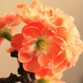 写真: 正月に咲かす木瓜 (1)