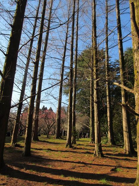 Photos: 植物園メタセコイヤ
