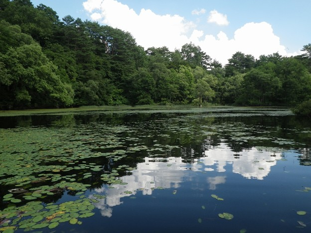桧原湖のアサザ
