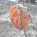 Photos: 12月21日「紅葉と霜」