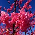 写真: 寒桜