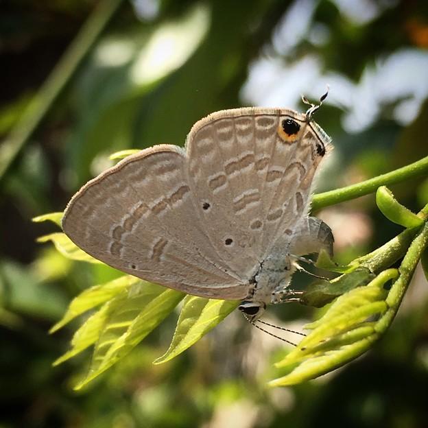 白波小灰蝶