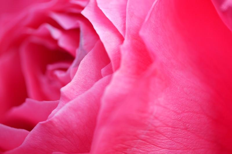 Rose Macro -Storming-