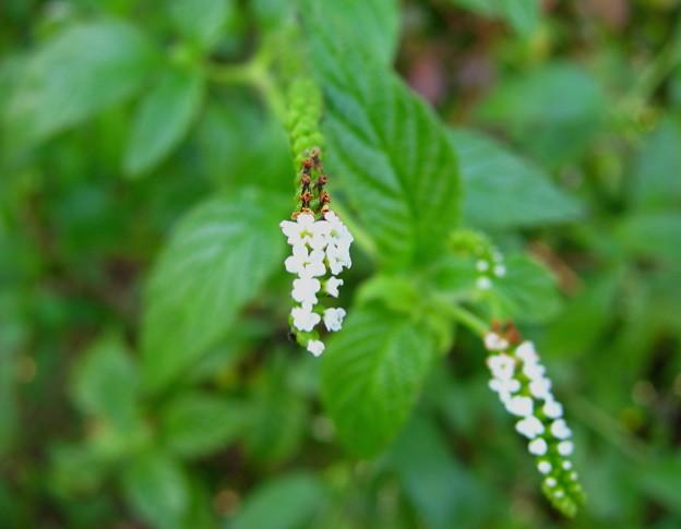 Scorpionstail(ムラサキ科)