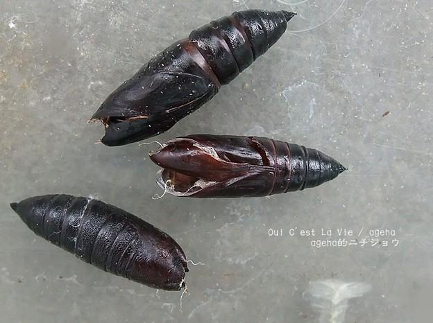 ヌケガラ。(オオスカシバ飼育)