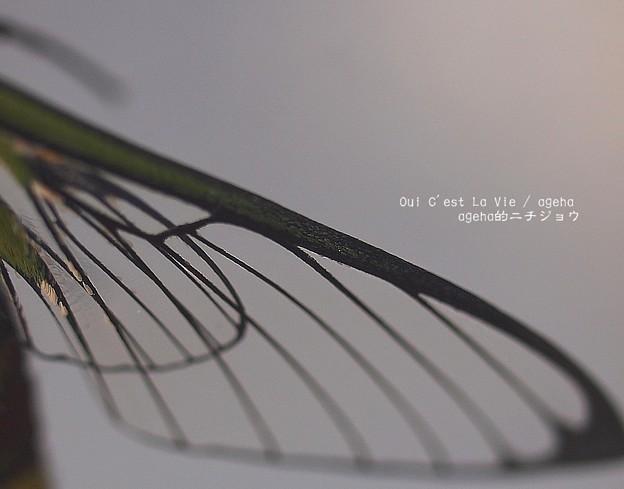 Photos: 透明な翅はほんとに綺麗。(オオスカシバ飼育。羽化)