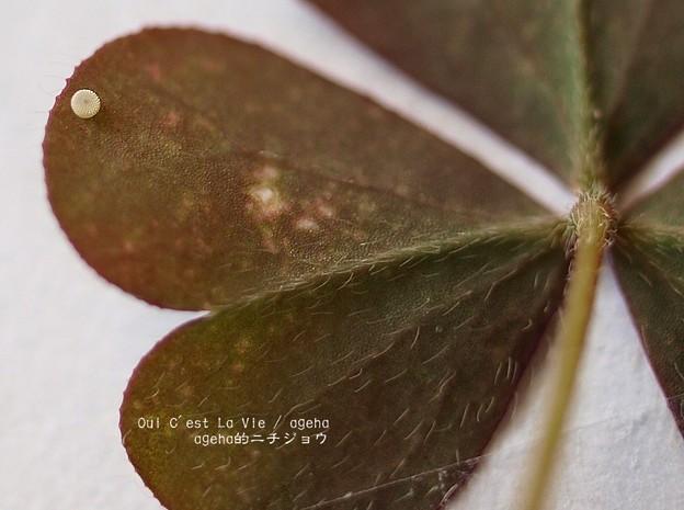 食草のカタバミは毛深くて酸っぱい。(ヤマトシジミ飼育)