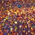 Photos: 散り紅葉 扇谷