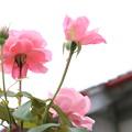 中庭に咲く。。