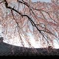 枝垂れ桜-3
