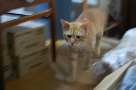 2010年7月22日の茶トラのボクチン(6歳)