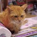 写真: 2012年9月17日の茶トラのボクちん(8歳)
