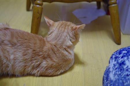 2011年10月2日の茶トラのボクチン(7歳)