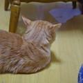 写真: 2011年10月2日の茶トラのボクチン(7歳)