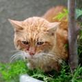 写真: 2012年10月10日の茶トラのボクちん(8歳)