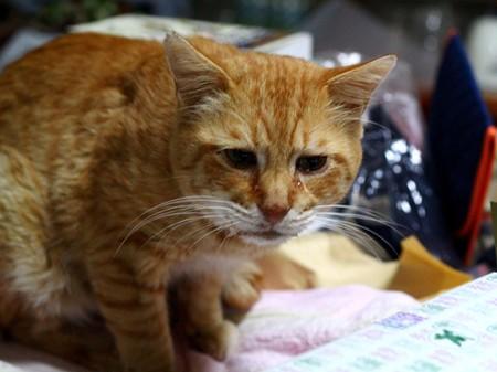 2011年10月22日の茶トラのボクちん(7歳)
