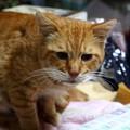 写真: 2011年10月22日の茶トラのボクちん(7歳)