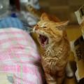 写真: 2011年10月24日の茶トラのボクちん(7歳)