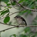 Photos: 幼鳥
