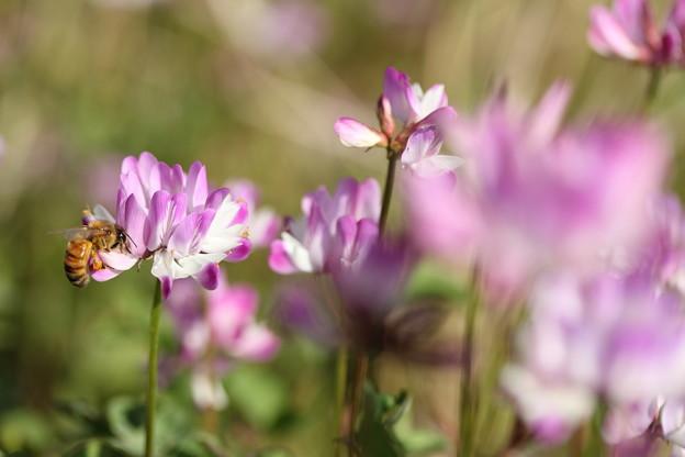 蓮華草とミツバチ