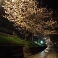 夜桜・・一小横
