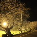 夜桜・・浜グランド試合をやってる