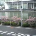 写真: ちょいとヤボ用で横浜某所へ。多分河津桜だと思うけど、早い春の知ら...