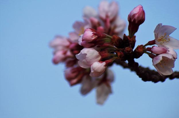 明日咲きます