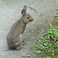 Photos: 庭に来た野兎