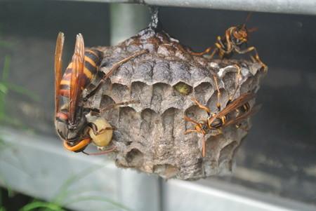 アシナガバチの巣を襲うスズメバチ