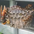 Photos: アシナガバチの巣を襲うスズメバチ