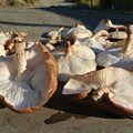 原木シイタケの乾燥