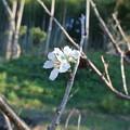季節外れの桜の開花