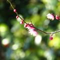 写真: メジロ去りし後寂しく梅を撮る