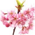 写真: 桜のイラストレーション