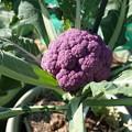 写真: 紫カリフラワー1