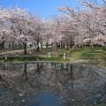 Photos: 白山公園の桜