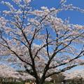 Photos: 桜を見上げる