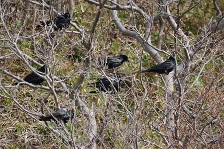 ミヤマガラスの中のコクマルガラス幼鳥(左下)