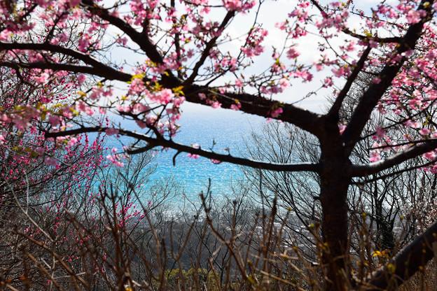 桜、紅梅、海