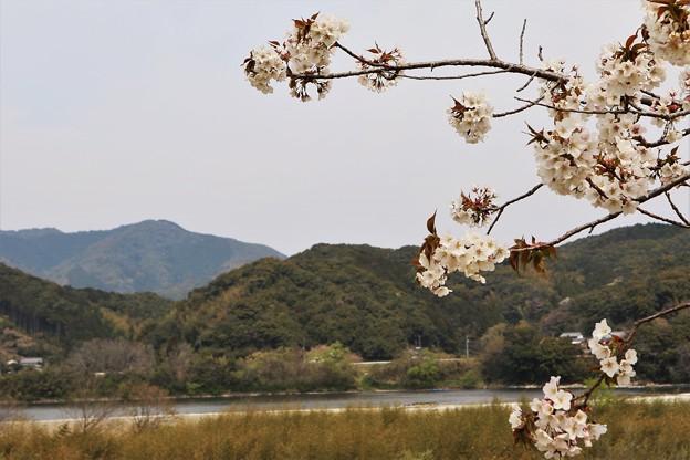 四万十川と桜