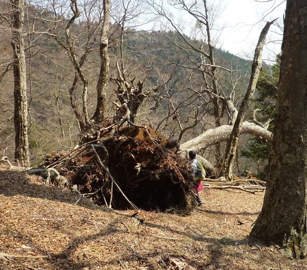 丹沢・ブナの倒木