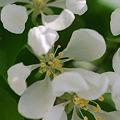 Spring Snow Crabapple 5-6-12
