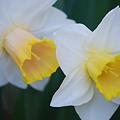 Two Daffodils 5-6-12