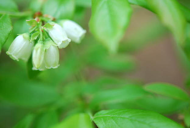Lowbush Blueberry 5-24-14