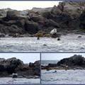 Harbor Seals and Grey Seals 8-22-14