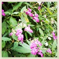 Ornamental Jewelweeds 8-21-14