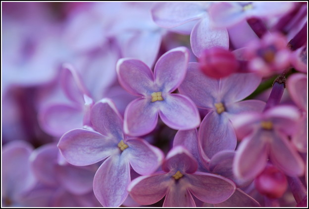 Lilac Flowers 5-29-14