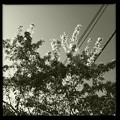 Crab Apple and Telephone Lines 5-29-14